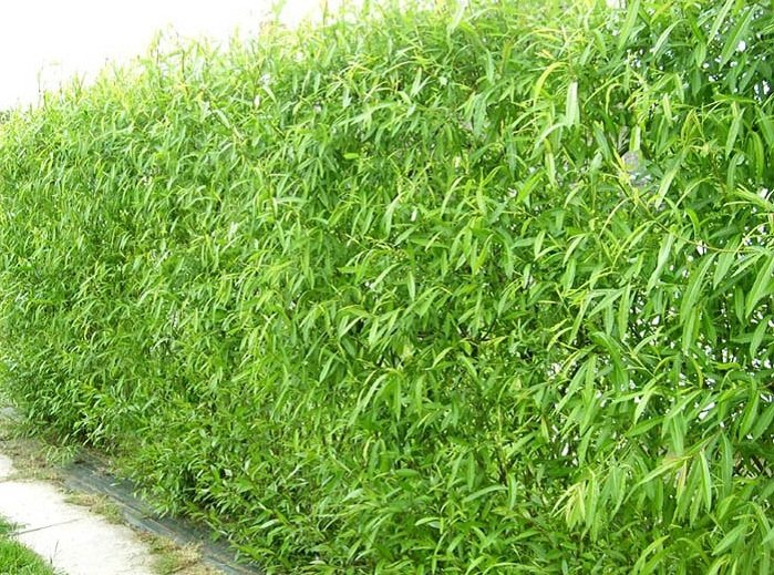 Boundary Hedges & Trees